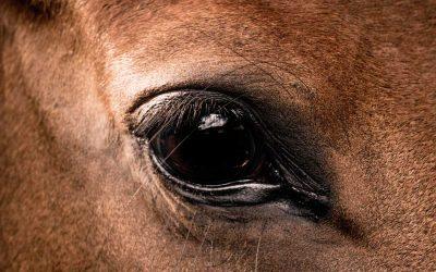 Augenausfluss beim Pferd zuordnen und behandeln können