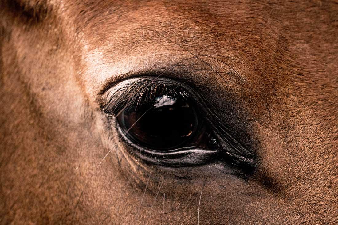 Augenausfluss beim Pferd
