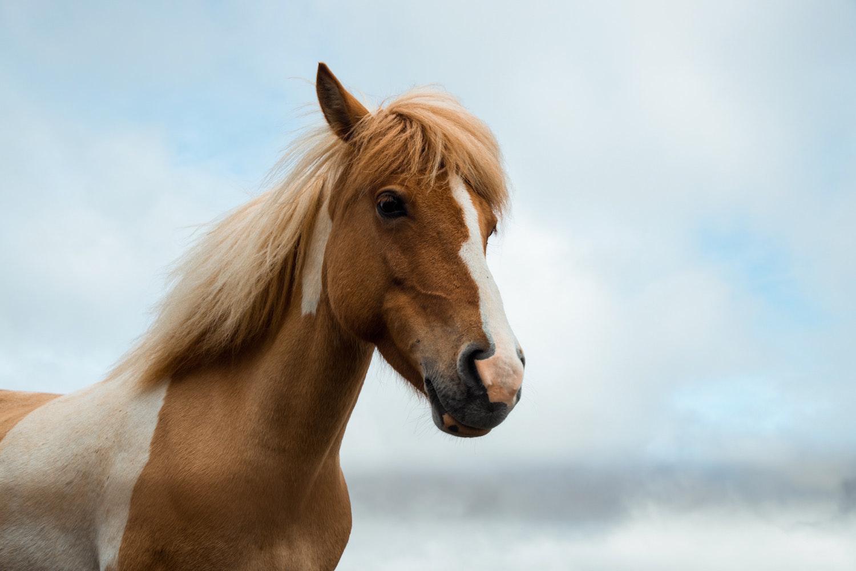 Übergewicht bei Pferden
