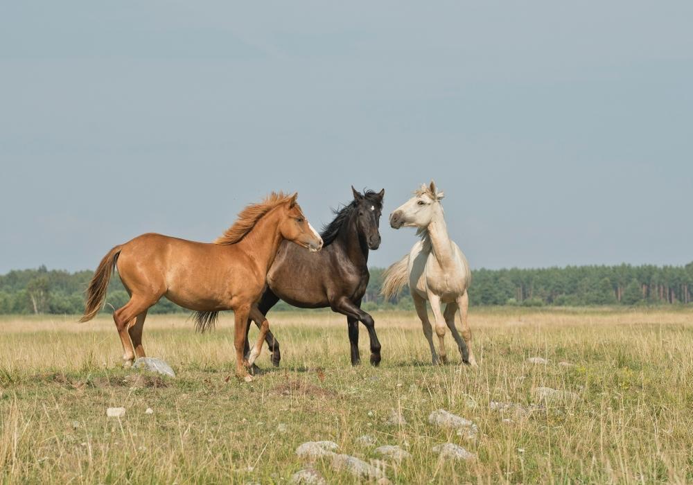 Koerpersprache-pferd