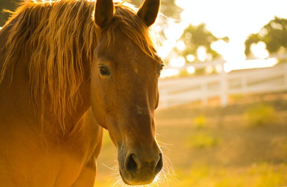 uerberhitzung-pferd