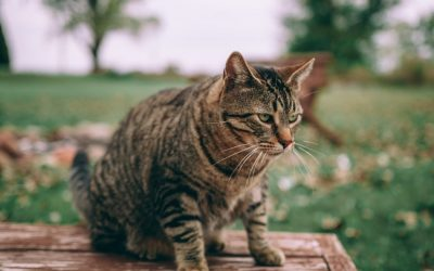 FIP kann für Katzen zur Lebensgefahr werden