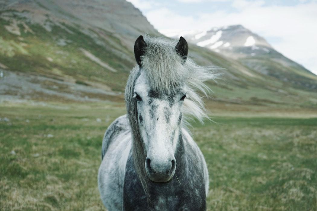 alte-pferde